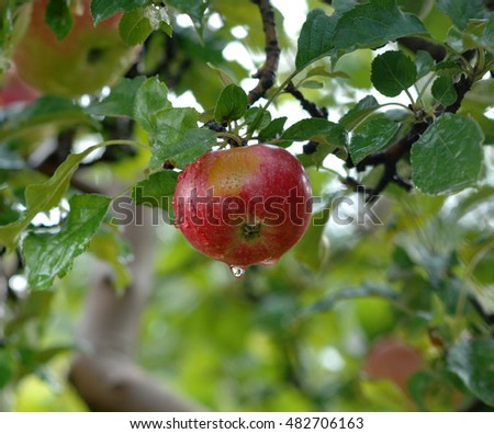 Picture of an Apples on tree after the rain