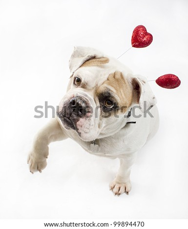 Picture of an English Bulldog taken in a studio with studio lighting and a white backdrop.