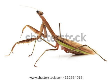 picture of an European mantis in front of white background