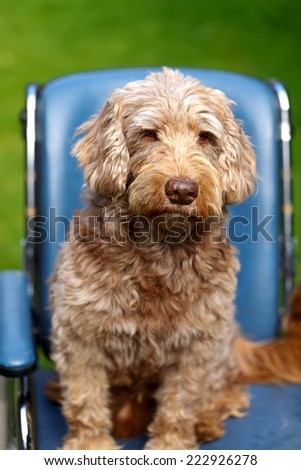 Picture of an injured  dog sitting in wheelchair - stock photo