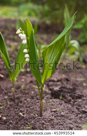 Picture of beautiful lily of the valley - stock photo
