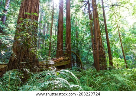 picture of coastal redwood forest in california - stock photo