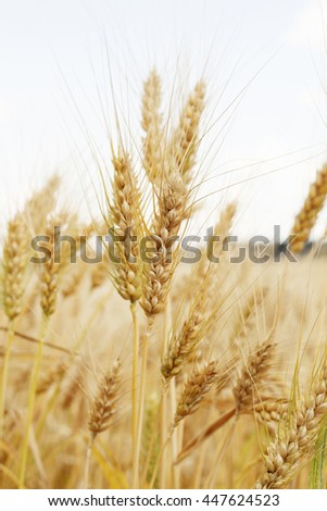 Picture of field of wheat
