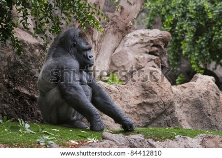 picture of gorilla in a theme park with rocks and vegetation