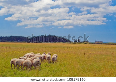 Picture of grazing sheep on the wide field of the coast of the island. - stock photo
