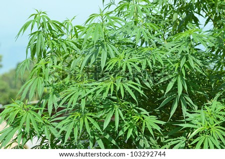 Picture of marijuana plantation in Chiang Mai Thailand - stock photo