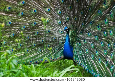 Picture of peacock (Pavo cristatus) - stock photo