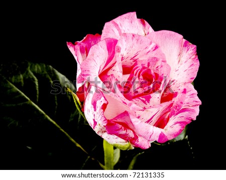 Picture of pink rose on black background