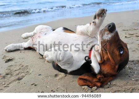 picture of puppy purebred basset hound on a beach