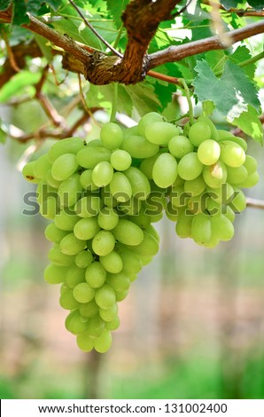 Picture of ripe white grape branch with grape leaves background - stock photo