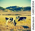 picture of some cows grazing in Menorca, Balearic islands, Spain, with a retro effect - stock photo