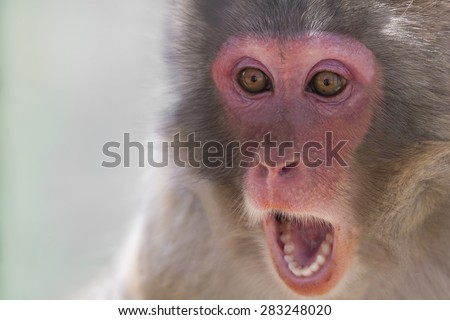 Picture of the face of a monkey with a surprise expression - stock photo