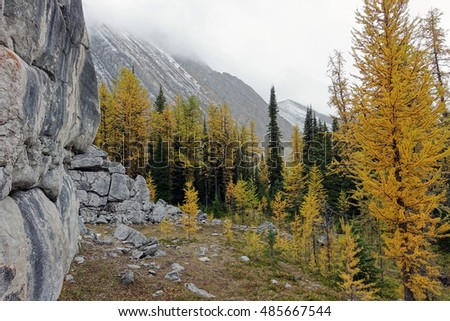 Picture of the golden larches taken at Elephant Rocks near Chester Lake in Peter Lougheed Provincial Park,Alberta,Canada.