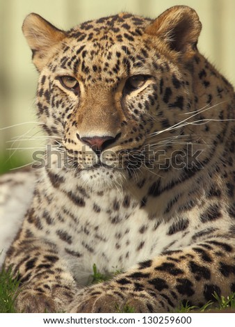 picture of the head of a fantastic male leopard - stock photo