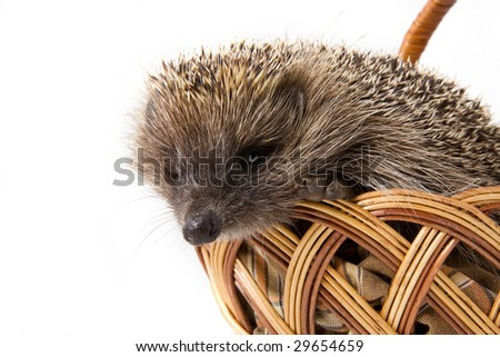 Picture of the hedgehog in a wicker basket