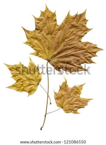 Picture of three leafs shed in autumn on white background. - stock photo