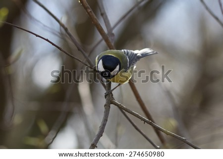 Picture of titmouse on the forest - stock photo