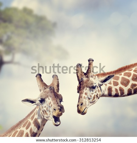 Picture of Two Adult Giraffes - stock photo