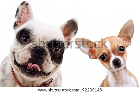 picture of two little dogs - chihuahua and french bull dog looking at the camera - stock photo