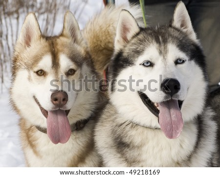 Picture of two siberian husky in a steppe landscape - stock photo