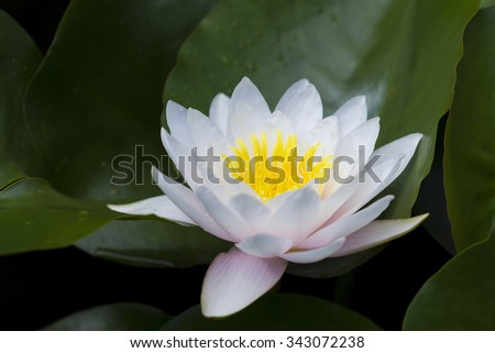 Picture of white water lily flowers are blooming in leaves - stock photo