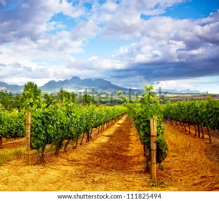 Picture of winery garden, blue sky, beautiful agricultural landscape, harvest season, grapes valley, field of fresh ripe fruit, vineyard industry, rural scenic nature, plantation viticulture - stock photo