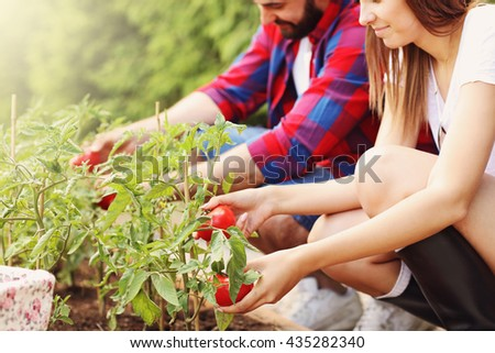Picture of young couple planting organic tomatoes - stock photo