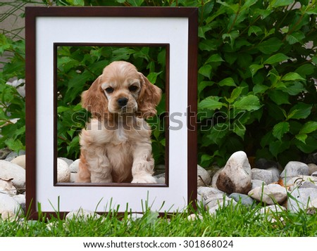 picture perfect puppy - american cocker spaniel puppy sitting behind a picture frame in a garden - stock photo