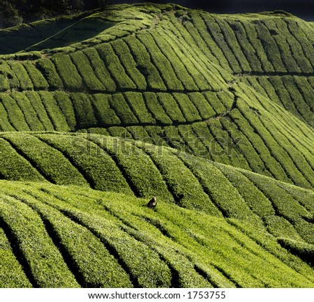 Picture taken in Cameron Highlands in Malaysia. - stock photo
