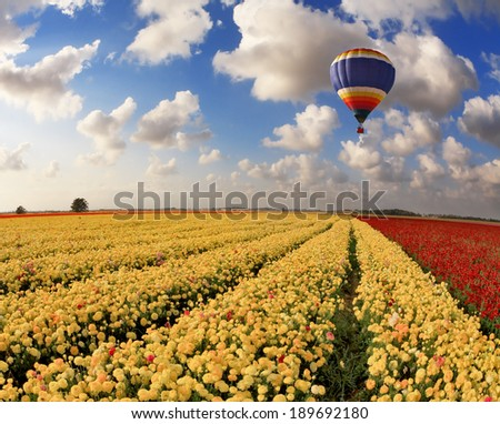 Picturesque field of beautiful yellow and red buttercups- ranunculus. The spring sun shines flying multicolored balloon - stock photo