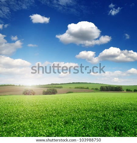 picturesque pea field and blue sky background - stock photo