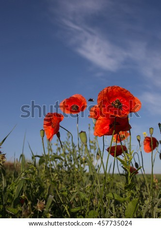 picturesque scene. closeup fresh, red flowers poppy  on the green field, in the sunlight. on the perfect blue sky background. majestic rural landscape.  - stock photo