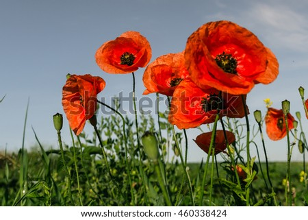 picturesque scene. closeup fresh, red flowers poppy  on the green field, in the sunlight. on the perfect blue sky background. majestic rural landscape. natural creative picture - stock photo