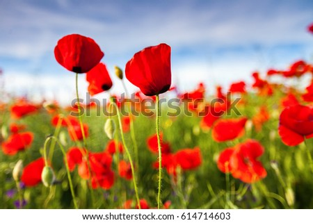 Picturesque spring scene with poppies