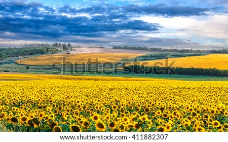 Picturesque sunflower field with dramatic blue sky in the evening