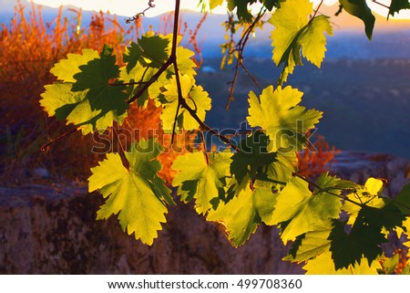 Picturesque sunset with grape leaves in Andalusia, Spain.