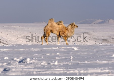 Picturesque winter view with camels, walking in the snow in a meadow in the mountains