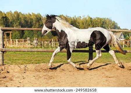 Piebald horse running in the paddock. - stock photo