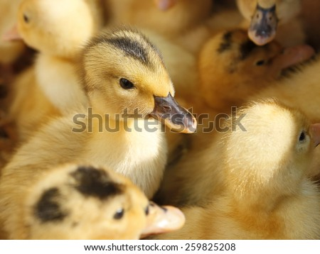 Piebald small funny baby ducklings in herds - stock photo