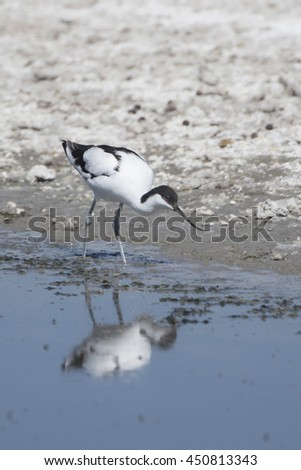 Pied Avocet at waterhole in Moremi Botswana