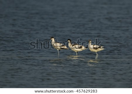 Pied avocet male and female flying in the nature.