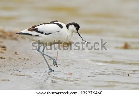 Pied avocet ( Recurvirostra avosetta ) - stock photo