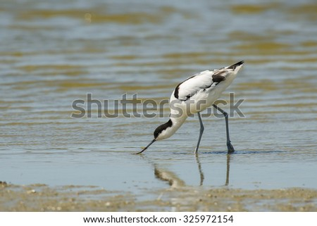 Pied Avocet (Recurvirostra avosetta) foraging in shallow water at the water front