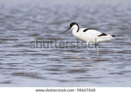 Pied avocet ( Recurvirostra avosetta ) foraging in water - stock photo