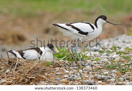Pied avocet ( Recurvirostra avosetta ) male and female at there nest - stock photo