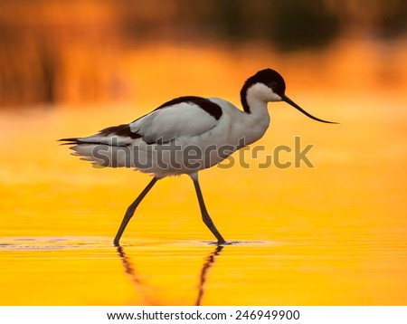 pied avocet (Recurvirostra avosetta) wading in water in early orange light and looking for food during sunrise - stock photo