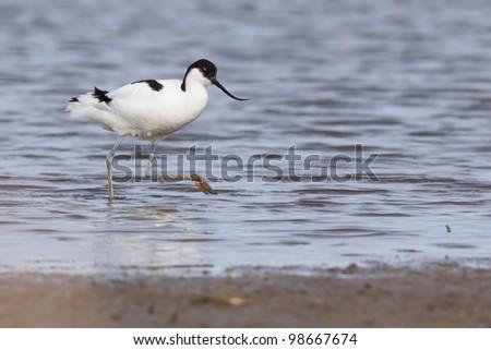 Pied avocet ( Recurvirostra avosetta ) walking to the shore - stock photo