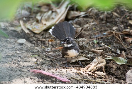 Pied fantail carrying grass for during nesting season, Thailand.