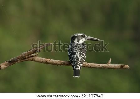Pied kingfisher - stock photo
