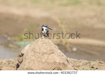 Pied Kingfisher (Ceryle audis) taking rest near lake in ranthambore national park, india